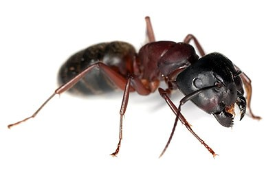 Carpenter Ant, Carpenter Ant Extermination, Carpenter Ant Exterminator, Michigan